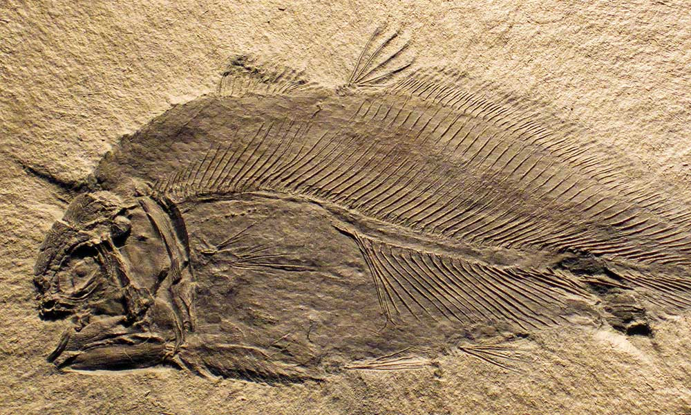 A prehistoric fish fossil