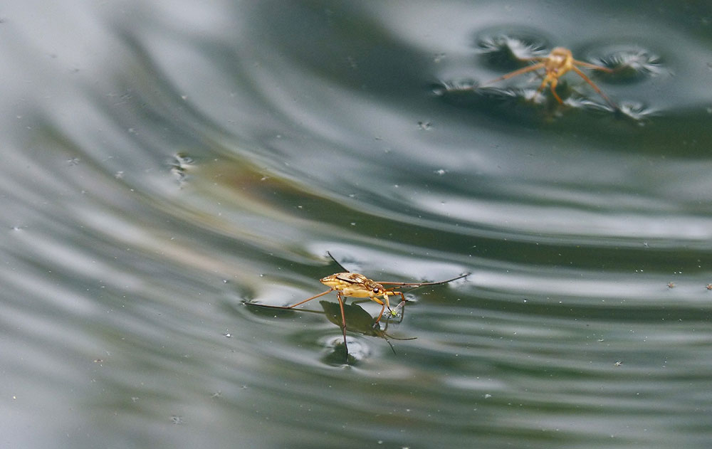 How can insects walk on water?